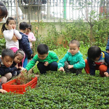 Bạn nào cũng chăm chú dõi theo những lá rau được thu hoạch.